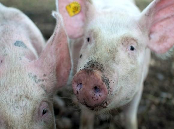 Problem z eksportem unijnej wieprzowiny do Chin wywołał obniżkę cen skupu żywca wieprzowego
