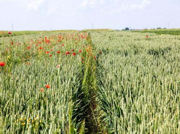 Odchwaszczanie zbóż ozimych jesienią