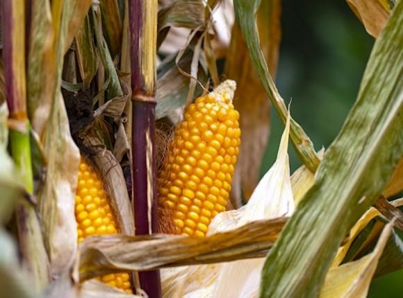 Jak uniezależnić plonowanie kukurydzy od pogody?