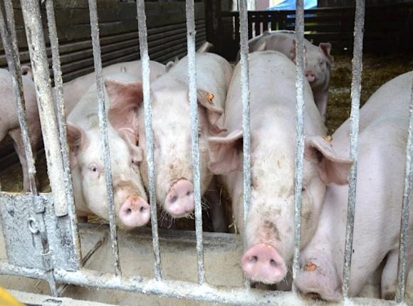 Większa podaż żywca i mniejsza konsumpcja wieprzowiny w styczniu 2021